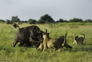 bufalo-atacando-leones