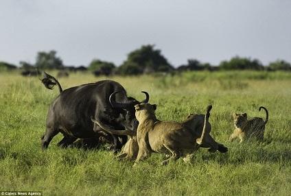 El bufalo mas valiente ante los leones