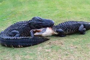 Dos caimanes peleando