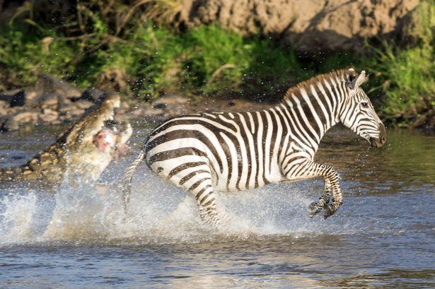 cebra escapa cocodrilo