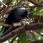 Un cuervo mas que inteligente