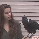 Este cuervo habla… y mejor que tu