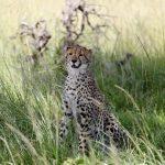 Madre guepardo atacando a leona protegiendo a sus crias