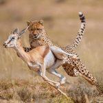 Guepardo cazando una gacela. Impresionante