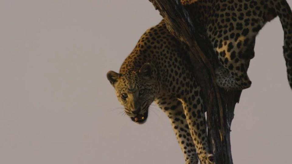 leopardo atacando