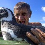 Pingüino nada 8 mil km cada año para visitar al hombre que lo salvó