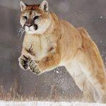 Puma cazando una llama (HD)