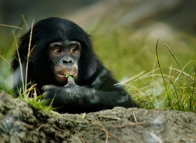 simios-congo