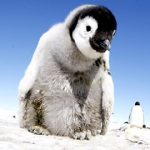 Primeros pasos de un pingüino emperador