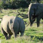 Elefante asustando a rinoceronte con un palo