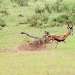 Guepardo cazando una gacela (HD)