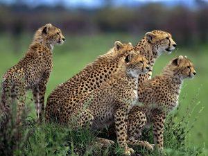 guepardos africa