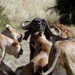 Bufalo defendiendose de 7 leonas