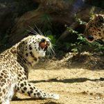 Madre leopardo peleando con su hermana