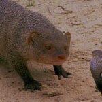 Mamba negra y mangosta se las tienen en el Kruger
