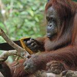 Orangutan aprendiendo a usar una sierra