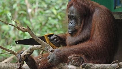 orangutan usando sierra
