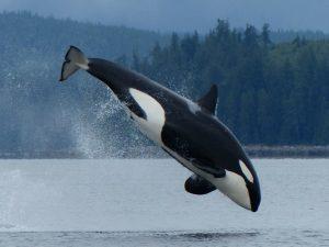 orca saltando jugando
