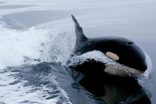 Orcas se acercan a conocer a la gente de un bote