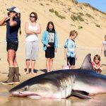 Rescate de un tiburon blanco en la playa (EEUU)