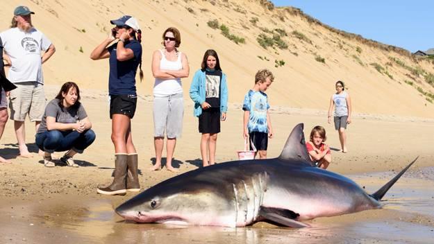 rescate tiburon blanco