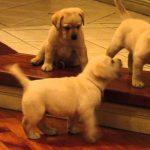 Perros Labradores Retriever jugando