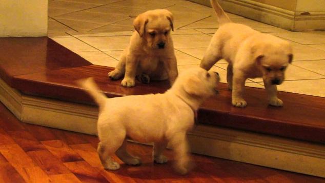 Cachorros de Labradores Retriever jugando