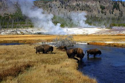 Yellowstone bisontes