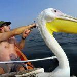 Amistad con un pelicano