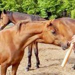 Hombre cautiva a caballos con concierto de flauta