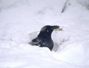 cuervo nieve jugando