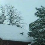 Cuervo intentando esquiar en un tejado