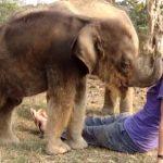 Bebe elefante buscando la nariz de una mujer