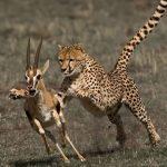 Flipante: Guepardo cazando una gacela (HD)