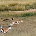 Guepardo esprintando para cazar una gacela saltarina