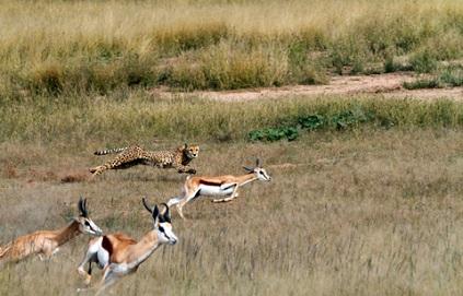 guepardo cazando gacela saltarina