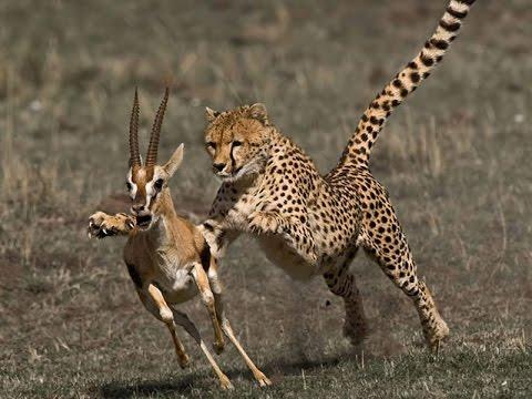 guepardo cazando gacela