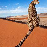 Asi cazan los guepardos ratones en el desierto