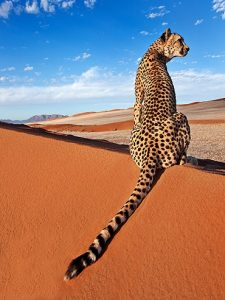 guepardo en el desierto