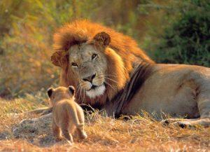 leon cria felinos