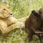 Leonas cazando cria de bufalo abandonada