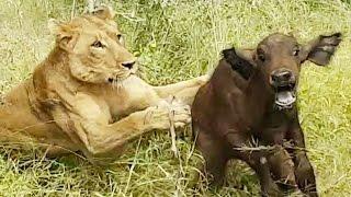 leona cazando cria bufalo