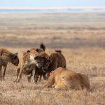 Leona defiende a sus crias de las hienas