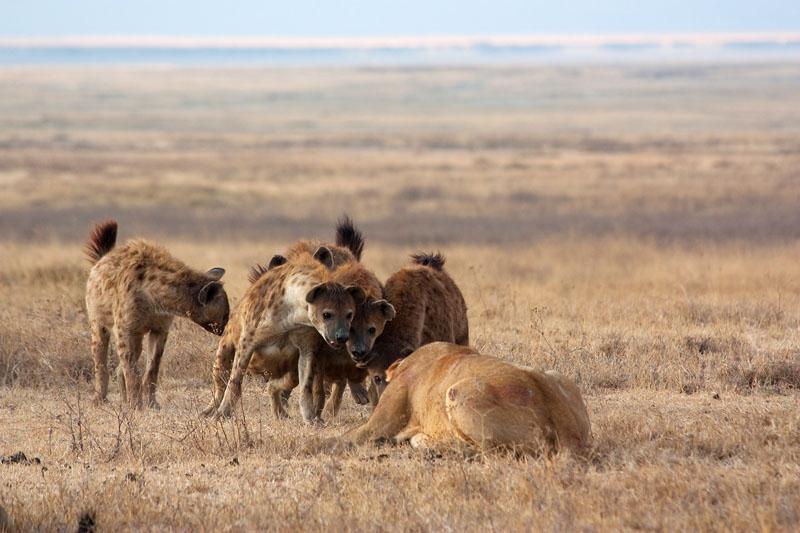 leonas vs hienas