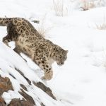 Leopardo de las nieves en la intimidad y cazando