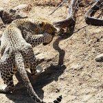 Leopardo peleando con una piton africana de roca