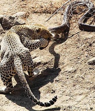 leopardo peleando piton de roca