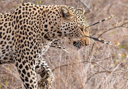 Leopardo insensato atacando a puercoespines