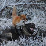 Perro y zorro jugando