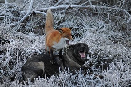 perro zorro jugando